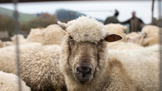 sheep in a carale