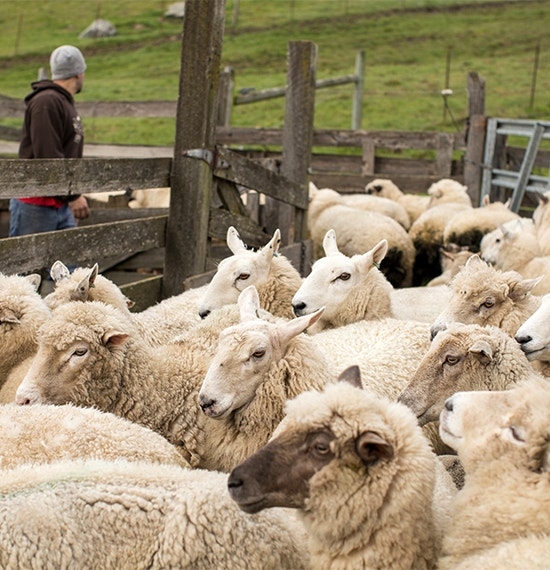 sheep in a corale