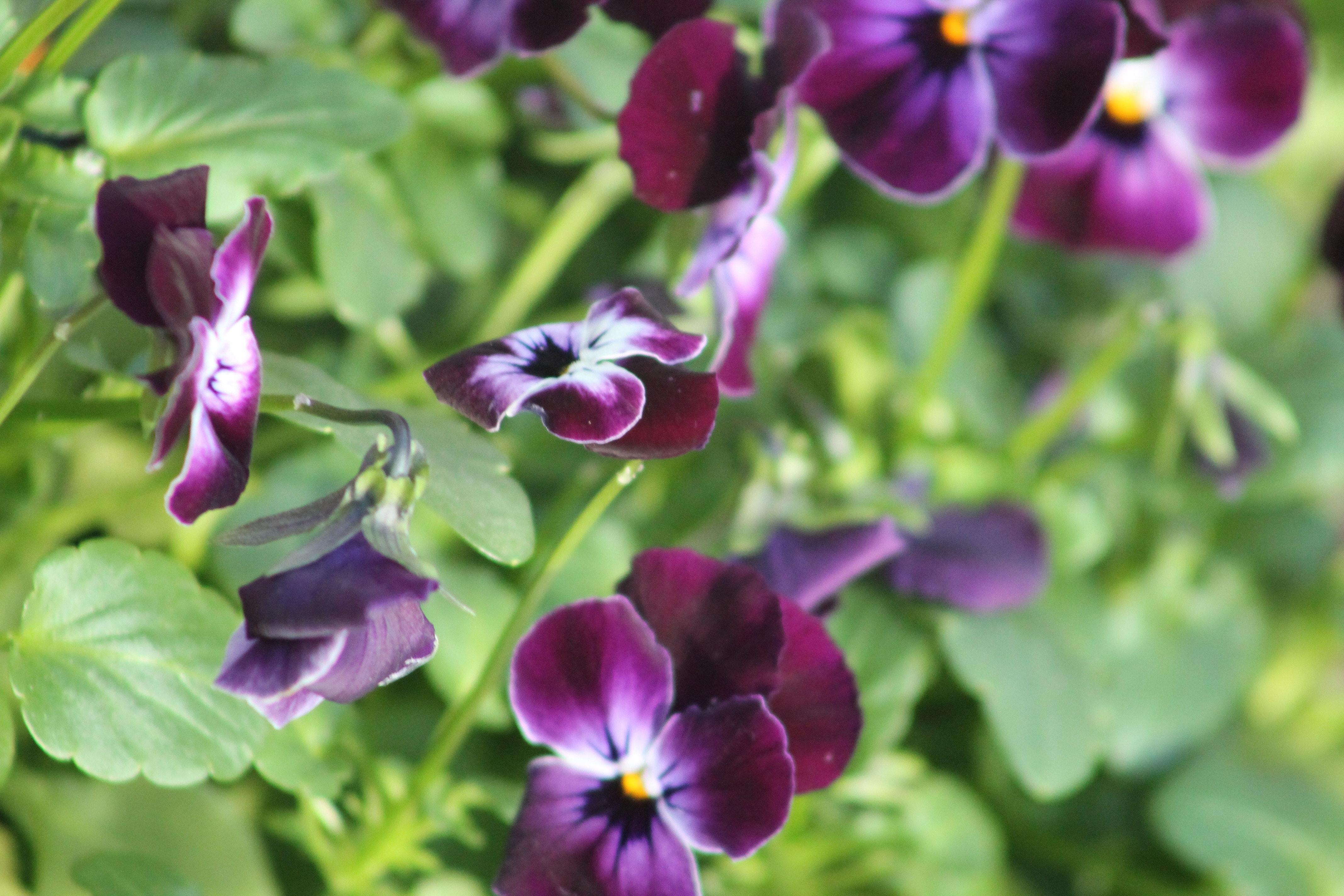 purple violets in garden