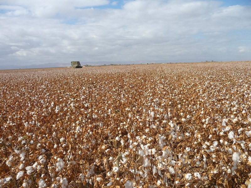 cotton harvest 1