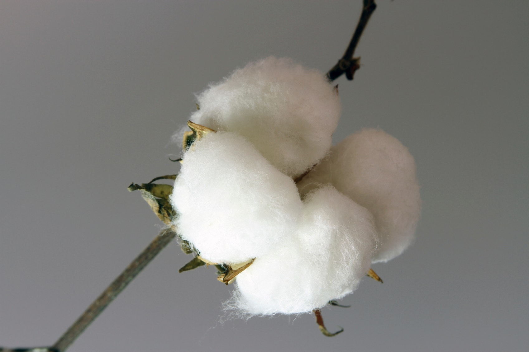 cotton harvest 3