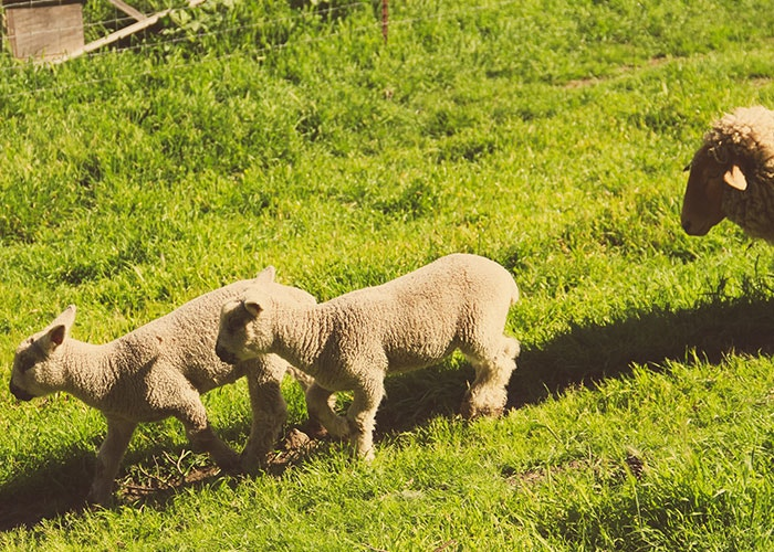 slide ranch lambs