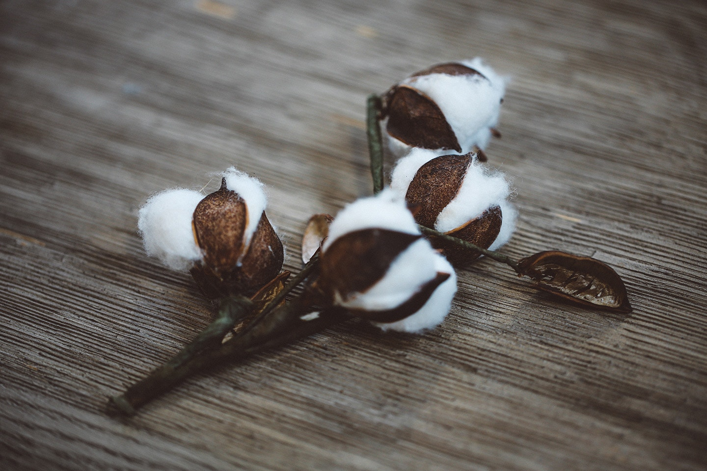 cotton plant on a wood background