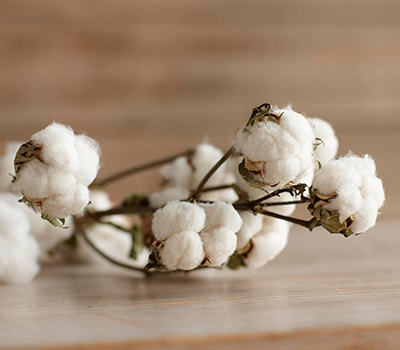 Cotton plant on table