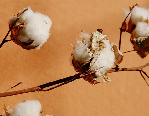 cotton plant in front of orange background