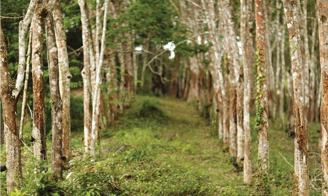 Havea Brasiliensis trees