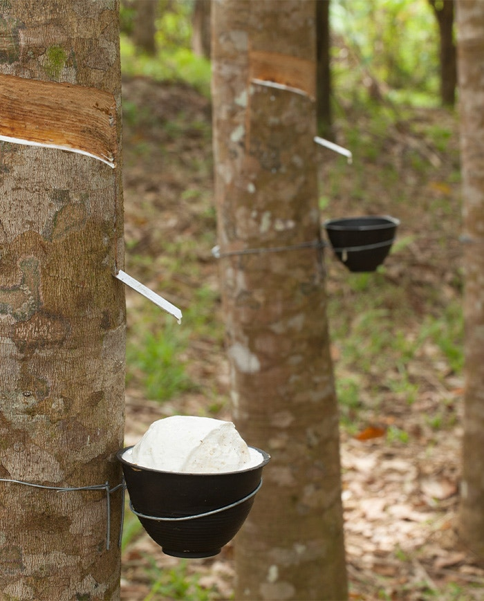 Organic latex being harvested by the Havea Brasiliensis tree