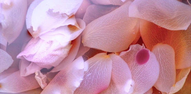 light pink rose petals in water